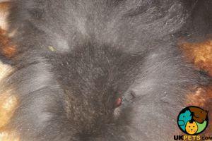 Lionhead Advertisement UK Pets