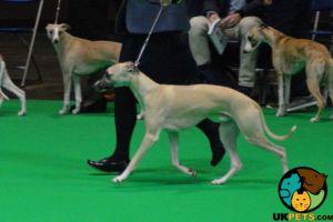 Whippet Advertisement UK Pets