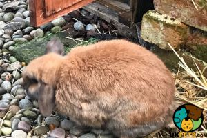 Dwarf Lop for Rehoming