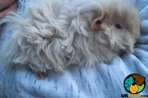 Guinea Pig For Sale in Great Britain