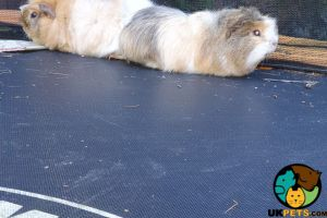 Guinea Pig For Adoption in Lodon