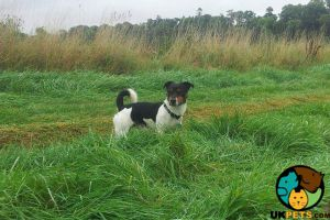 Jack Russell Dogs Breed