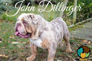 Old Tyme Bulldog Advertisement UK Pets