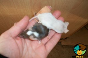Mouse for Rehoming