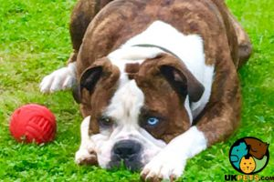 Alapaha Blue Blood Bulldogs for Rehoming