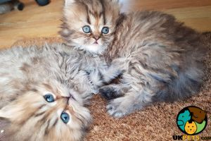 Persian for Rehoming