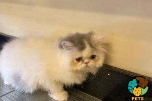 Persian For Sale in the UK