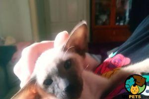 Siamese Cats Breed