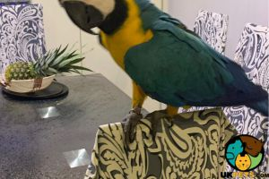 Macaw Rodents Breed