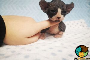 Available Sphynxes