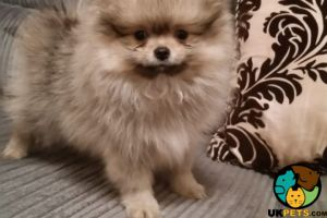 Pomeranians for Rehoming