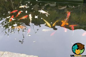 Pond Fishes for Rehoming
