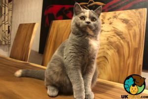 British Shorthairs For Sale