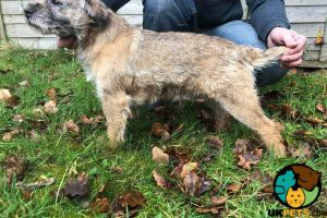 Border Terrier Online Listings