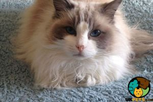 Ragdoll For Adoption in the UK