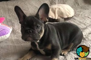 French Bulldog Online Listings