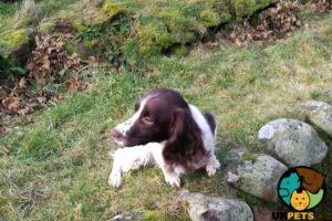 English Springer Spaniel Advertisement UK Pets
