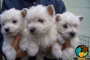 Cute West Highland Terrier For Sale