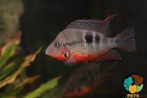 Cichlid Fish and Aquatic Breed