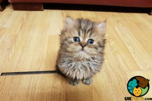 Cute Persian For Sale