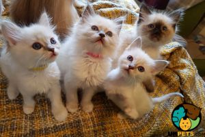 Ragdoll For Adoption in Great Britain