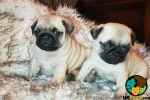 Pugs for Rehoming