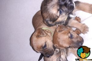 Border Terrier For Sale in the UK