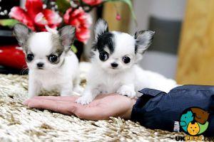 Cute Chihuahua For Adoption