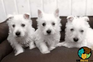 Available West Highland Terriers