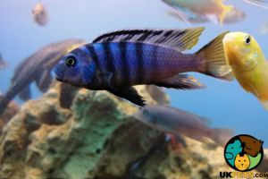 Cichlids for Rehoming