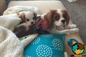 Cavalier King Charles Spaniels for Rehoming