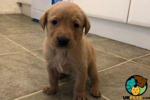 Labrador Retriever Dogs Breed