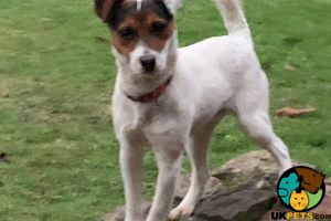 Cute Jack Russell For Sale