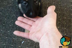 German Shepherd For Sale in Great Britain