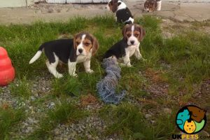 Available Beagles