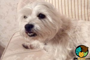 West Highland Terrier For Adoption in Great Britain
