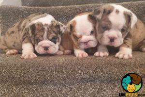 English Bulldog For Sale in Lodon