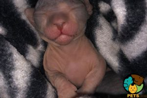 Sphynx For Sale in the UK