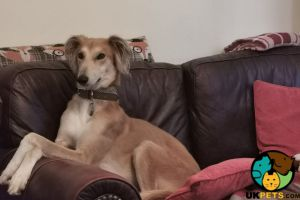 Saluki Online Listings