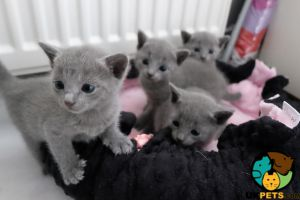 Russian Blues For Sale