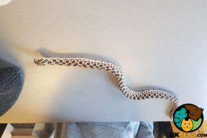 Snake Advertisement UK Pets