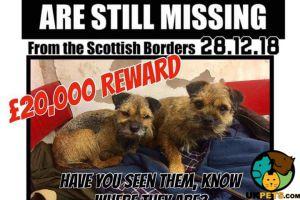 Border Terrier For Sale