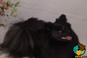 Pomeranian Dogs Breed