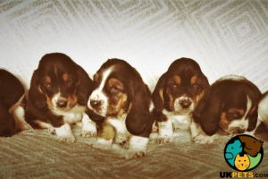 Cute Basset Hound For Sale