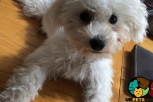 Bichon Frises for Rehoming