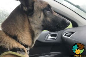 Belgian Shepherd Dog For Sale