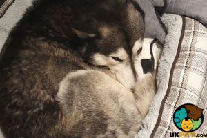 Alaskan Malamute Advertisement UK Pets