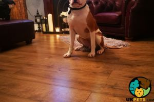 American Bulldog For Sale in Great Britain