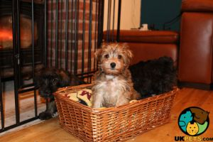 Available Schnoodles