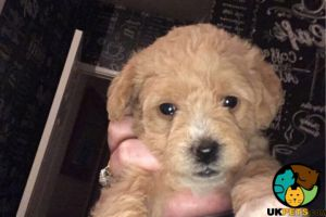 Schnoodle Online Ad